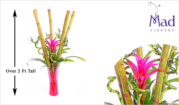Mad Flowers: Lucky Bamboo and Guzzmania for just €39, Delivered Nationwide from Mad Flowers.